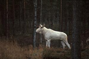 Albinoälg i helfigur
