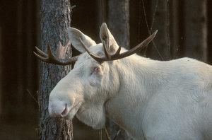 Albinoälg i närbild