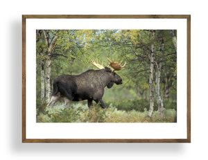 Älgtjur i Lappland A3 storlek